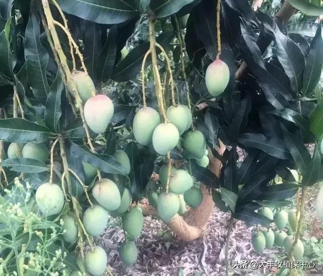 芒果品种,「芒果种轻松」芒果10大品种大比拼,哪个品种最好?谁最有钱景?