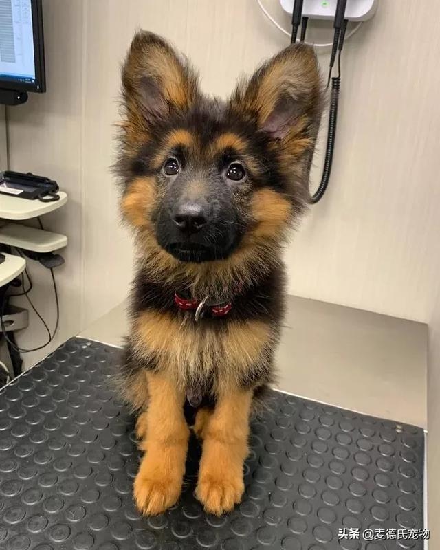 狗    婴儿,德牧宝宝的一张照片在网上爆红,这不就是我梦中情狗的样子?
