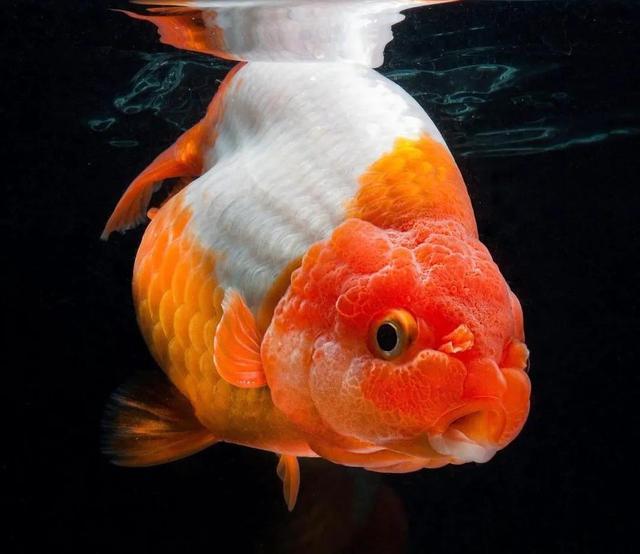 金鱼图片,分享一些精美的金鱼图片