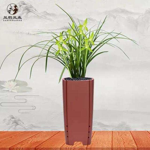 老品种,春兰传统老品种素心 慈恩素带花苞