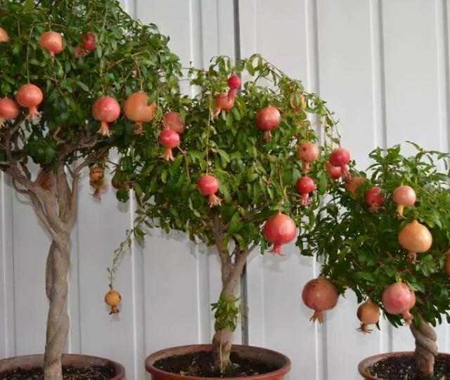盆栽果树有哪些可以推荐?4种建议安排上,挂果多,好养护