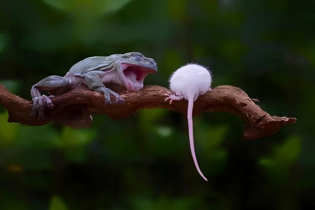 青蛙图片,印尼摄影师拍到青蛙吞老鼠,一口咬断老鼠脖子,整个生吞下去