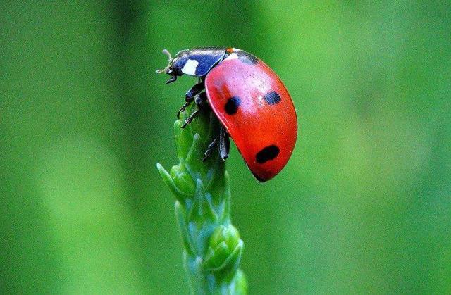 七星瓢虫图片,阳台看见瓢虫以为是益虫?这种瓢虫是叛徒,一天就把花啃精光