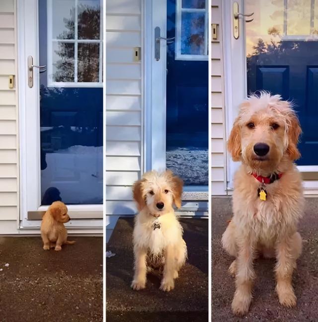 狗    婴儿,6种狗狗小时候和长大的对比!阿拉斯猪:岁月是把猪饲料