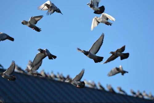 赛鸽成绩查询,12条赛鸽训放经验分享,为爱鸽的比赛成绩加油助力(上)