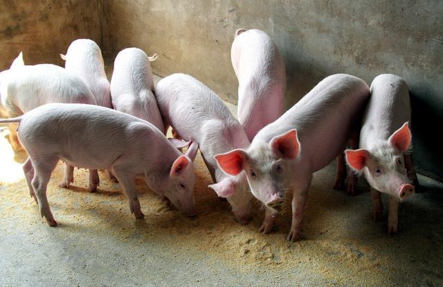 3月21日!全国猪价整体市场行情分析
