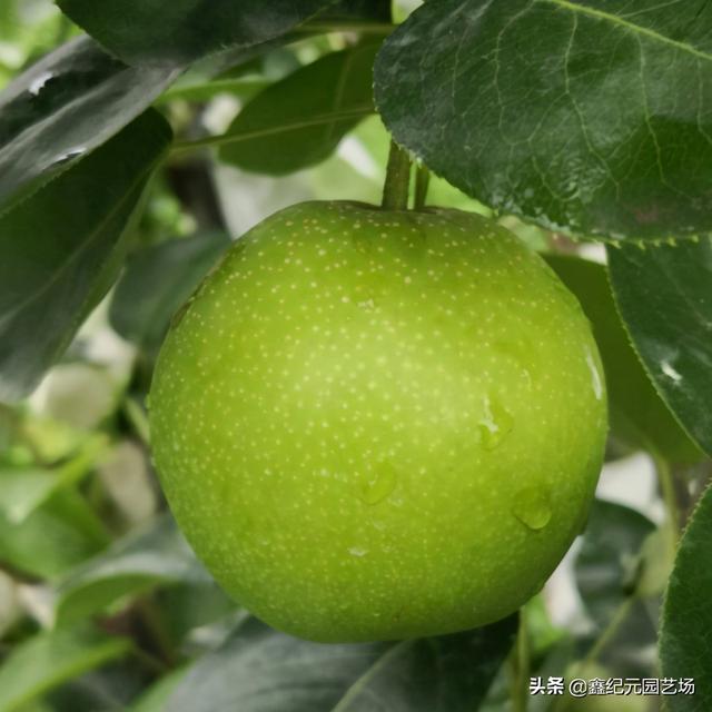 树新品种梨,梨树热销早熟品种——苏脆一号