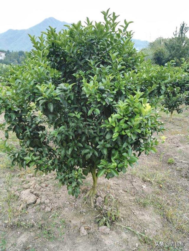 果树整形修剪技术
