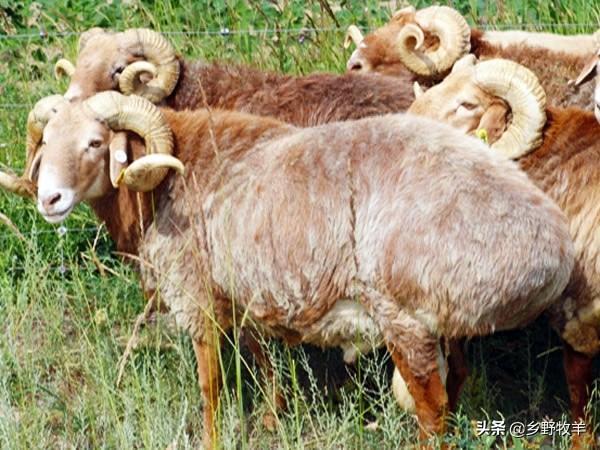 肉羊品种,我们国家肉用羊品种主要有哪几种你知道吗?