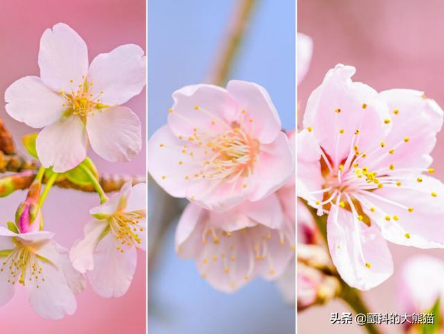 梅花的特征,知道这个 就能简单分辨樱花、梅花、桃花