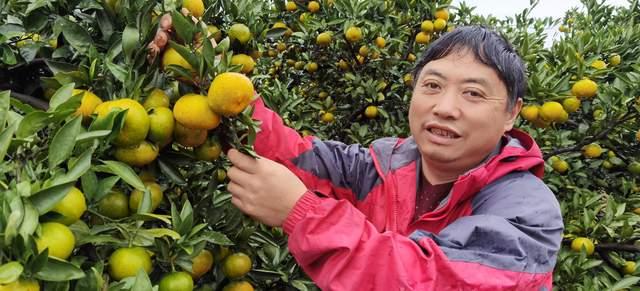 湖北宜昌:农民种早熟脐橙重阳上市,不打药不除草只求安心