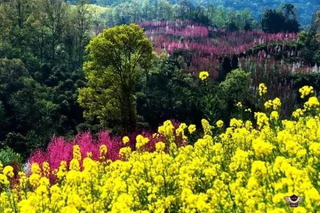 大邑有个千亩桃花寨,满山桃花正在绽放,免费不满现在赏你还不约