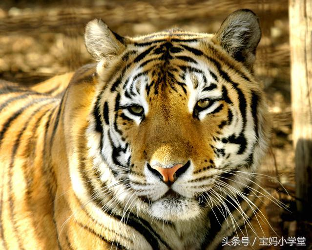 关于50年生肖虎运程的信息-第3张图片-天下生肖网