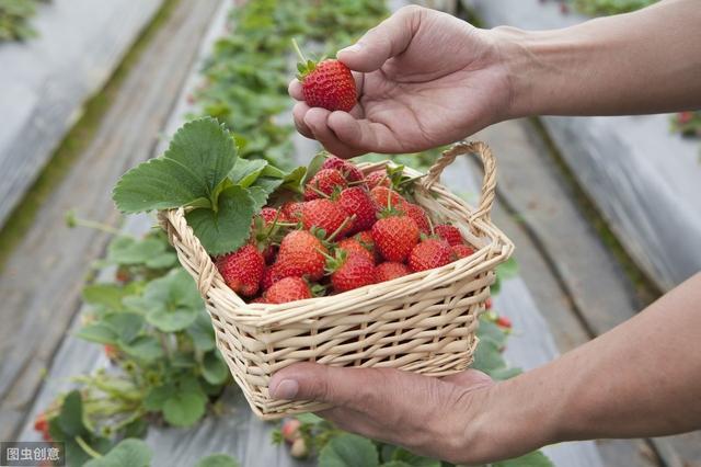 这一季草莓马上终局!种植三年草莓总结!约束禁锢18岁以下少年观观看!
