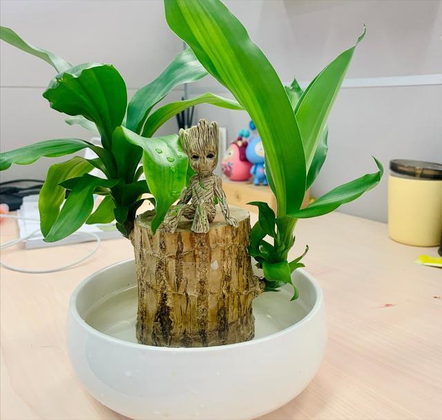 「绿植」——养护巴西木的四大法则
