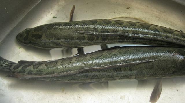 这6种鱼平时要少吃,或含有甲醛和重金属,看看有你常吃的吗?