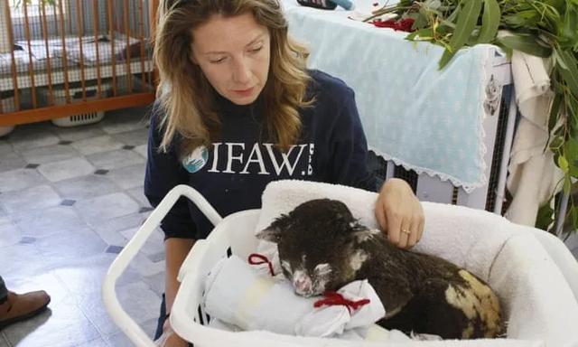 考拉快灭绝了?澳洲野外考拉三年狂少30%,只剩3万多只了