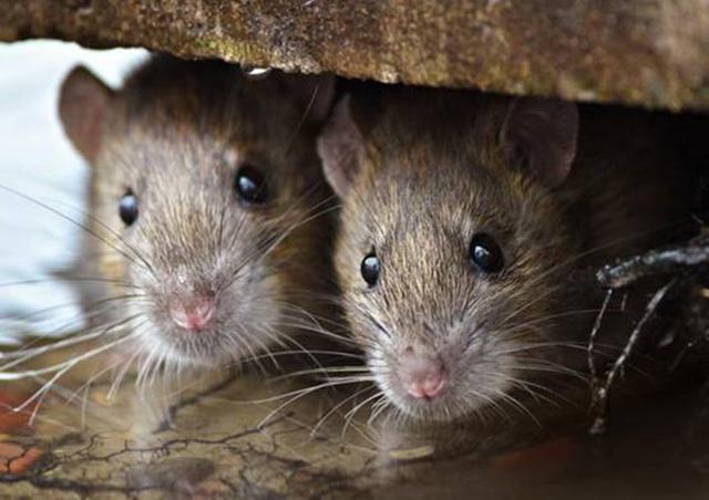 澳大利亚新冠未除又现鼠疫,上亿老鼠泛滥成灾,莫里森或将下台?