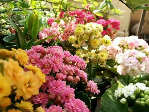 长寿花平价又好养,关键几点养护办法,滋长蓬勃年前提前开花