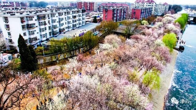 快利润!天津运河桃花节赏花挑示来了