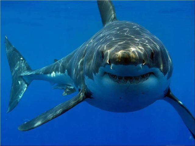 为何7米长濒危鲸鲨现身大连獐子岛,它会攻击人类吗?