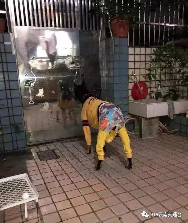 奥奥cf全能王:爷爷奶奶养的狗胖出糖尿病!网友:老人养娃的路子才更野