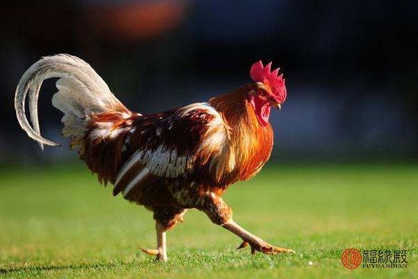生肖鸡和什么生肖最配最合适(属鸡生肖和什么生肖配)-第1张图片-天下生肖网