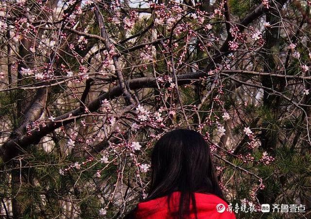 早春暖如初夏,济南桃花凋谢艳丽走人