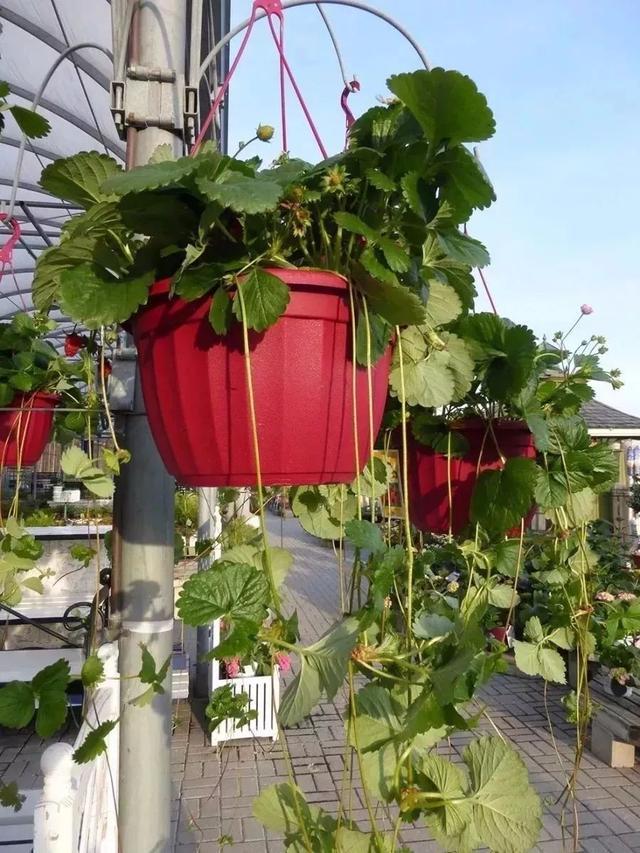 盆栽草莓舍得掐一掐,虐一虐,红果子奇怪多,一摘一大盆