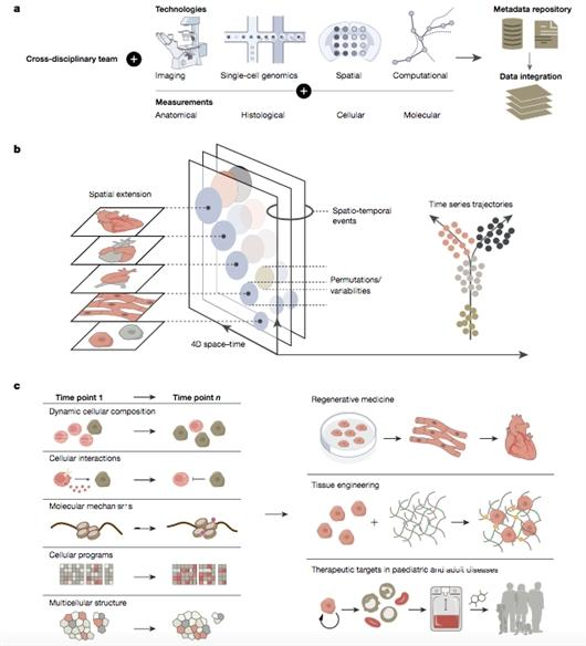 """人类发育细胞图谱揭开胚胎发育""""黑匣子"""""""