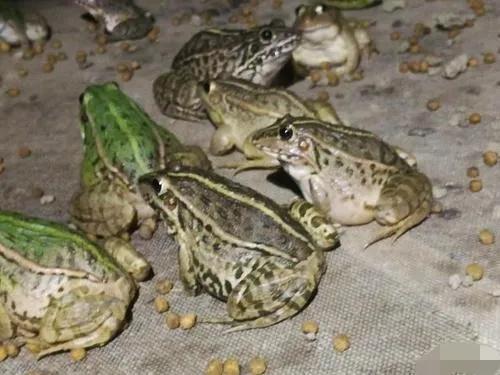 养殖黑斑蛙,发家致富很简单,附带养殖技术