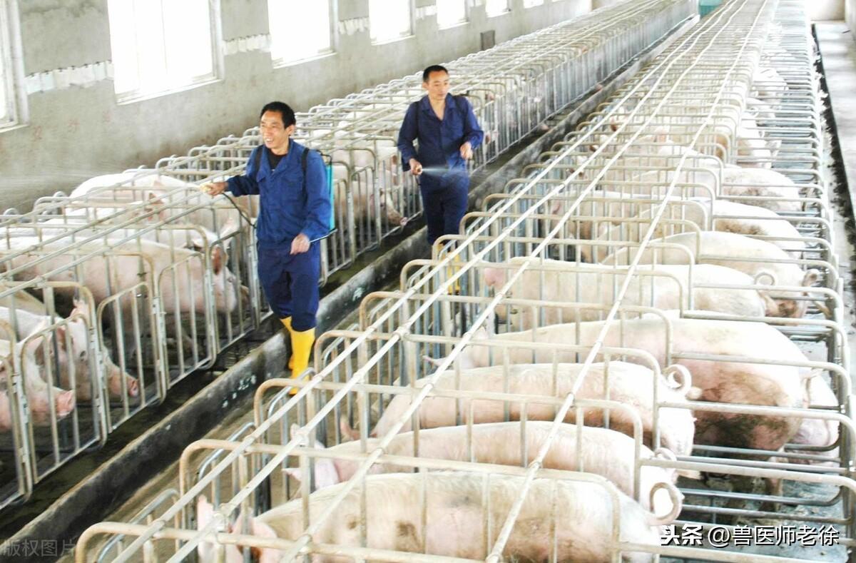 戊二醛可以带猪消毒吗?