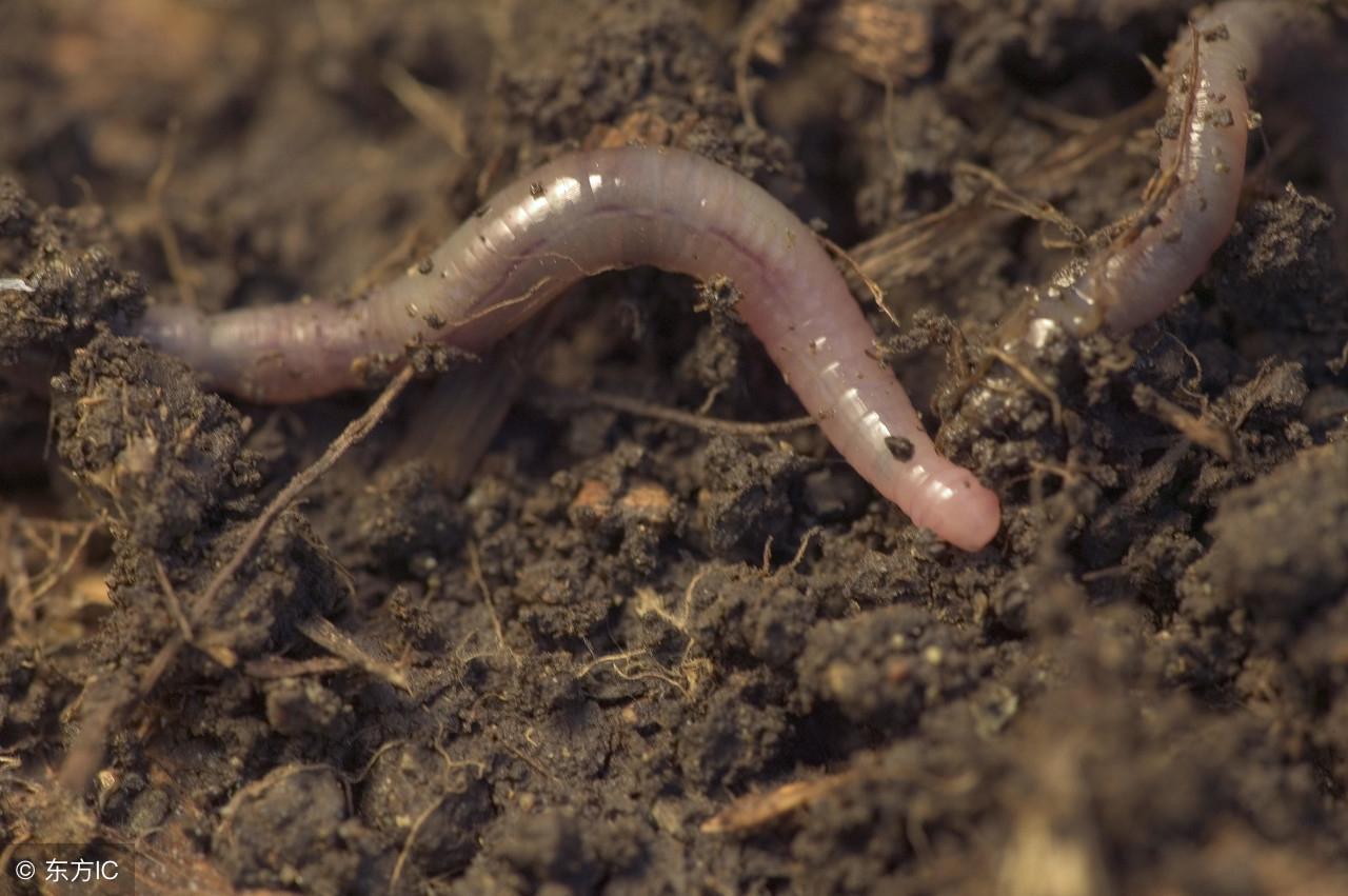 蚯蚓吃什么?它们是怎么繁殖的,是靠一分为二繁衍后代吗?