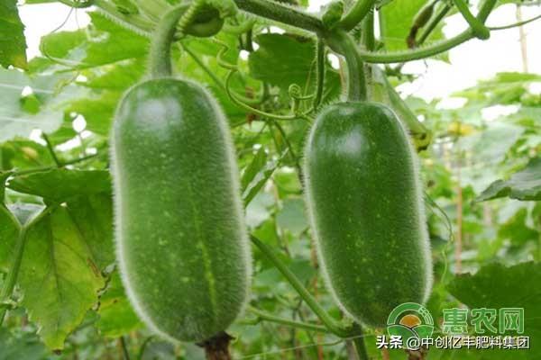 北瓜是什么瓜?要怎么种植?