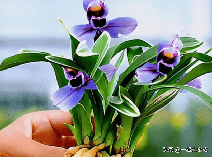 养兰花用什么土最好(养兰花最好的植料)插图(4)