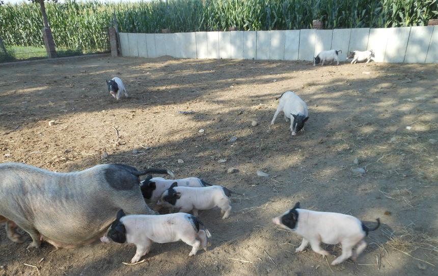 河北唐山大姐回乡养猪,一年收入700万,带领一百多户农民致富