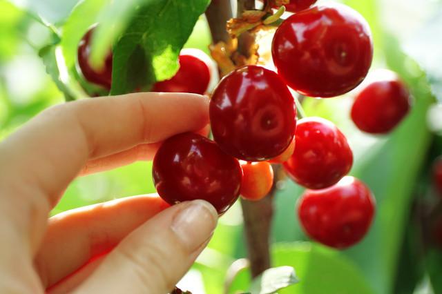 樱桃好吃树难栽,这是真的吗?樱桃和车厘子育苗技术要点
