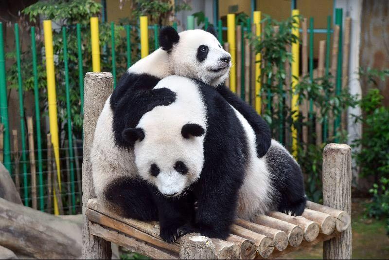 马来西亚国家动物园重开在即 大熊猫幼崽成为新亮点